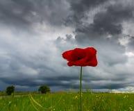 Ensam vallmoblomma som isoleras på härlig himmelbakgrund Arkivfoto