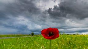 Ensam vallmoblomma som isoleras på härlig himmelbakgrund Arkivfoton