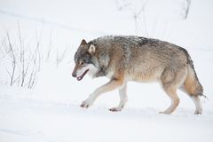 Ensam varg som går i snön Arkivfoto