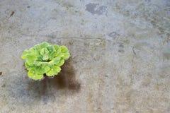 Ensam vattengrönsallat Arkivfoto