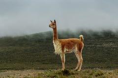 Ensam vikunjaull i heden under den gråa ogenomskinligheten royaltyfria bilder