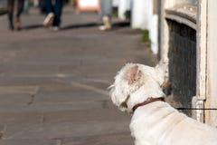 Ensam vit hund Arkivfoto