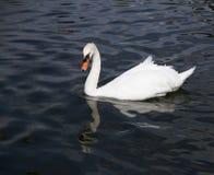 Ensam vit svan i den blåa sjön Arkivbilder