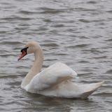 Ensam vit svan på vatten fotografering för bildbyråer