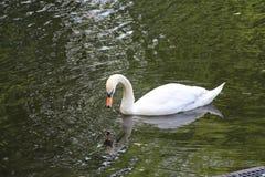 Ensam vit svan på vattnet royaltyfria bilder