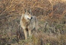 Ensam wolf Royaltyfria Bilder