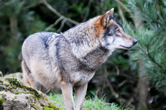Ensam wolf Royaltyfri Foto