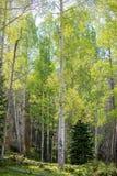 Ensamma Aspen Tree Beautiful Leaves med solen som glöder på frodigt gräs i Rocky Mountain National Park arkivbild