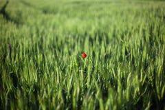 Ensamma blommavallmo i vetefält arkivfoto