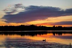 Ensamma Duck Waiting For Sunrise Arkivbilder