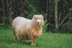 Ensamma får i Nya Zeeland Arkivbild