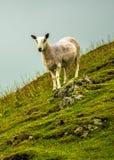 Ensamma får på brant betar i Skottland fotografering för bildbyråer