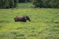 Ensamma försök för en elefant att dölja i gräset (Republiken Kongo) Royaltyfria Foton