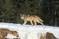 Ensamma Grey Wolf Royaltyfri Bild