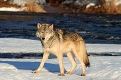 Ensamma Grey Wolf Royaltyfri Fotografi