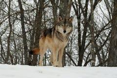 Ensamma Grey Wolf Royaltyfri Foto