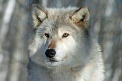 Ensamma Grey Wolf Arkivbild