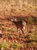 Ensamma hjortar i fält Royaltyfria Bilder