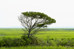 Ensamma Live Oak Tree Towers Over det saltvattens- träsket Fotografering för Bildbyråer