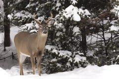 Ensamma manliga hjortar i vinterskog Arkivbilder