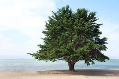 Ensamma Monterey sörjer trädet på stranden Royaltyfria Foton