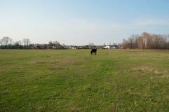 Ensamma skrubbsår för en häst i en äng Arkivfoton