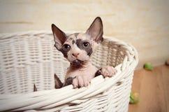Ensamma Sphynx Kitten In en korg som ser avlägsen fotografering för bildbyråer