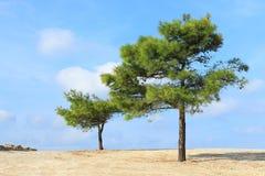 Ensamma två sörjer träd på himmelbakgrund Royaltyfria Bilder
