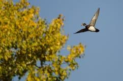 Ensamma Wood Duck Flying Past en Autumn Tree royaltyfri bild