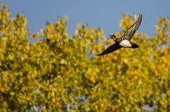Ensamma Wood Duck Flying Past en Autumn Tree royaltyfria bilder