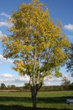 Ensamt askaträd Royaltyfri Bild