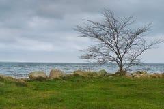 Ensamt avlövat träd på kusten Arkivbild