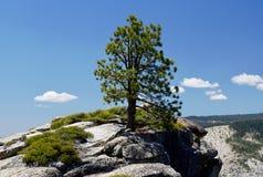 Ensamt barrträd, Taft punkt, Yosemite, Kalifornien, USA Arkivbilder