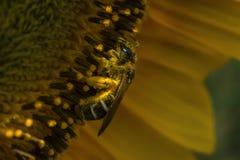 Ensamt bi i solrosen royaltyfri bild