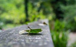 Ensamt blad på träramp Royaltyfri Bild