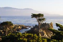 Ensamt cypressträd Arkivbild