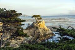 Ensamt cypressträd i Kalifornien Arkivfoto