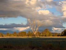 Ensamt dött träd Arkivbilder