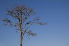 Ensamt dött träd i blå himmel arkivfoton