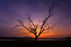 Ensamt dött träd i solnedgång Fotografering för Bildbyråer