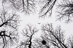Ensamt fågelflyg bland vinterträd Arkivbilder