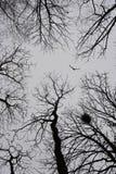 Ensamt fågelflyg bland vinterträd royaltyfri fotografi