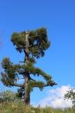 Ensamt gammalt granträd Royaltyfria Bilder