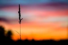 Ensamt grässtrå framme av solnedgången Fotografering för Bildbyråer