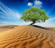 Ensamt grönt träd i ökendyn Arkivfoton