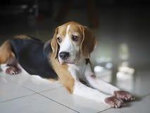 Ensamt gulligt vila för beagle royaltyfri foto