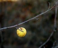 Ensamt gult äpple på en filial Royaltyfria Foton