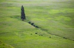 Ensamt högväxt träd Arkivfoton
