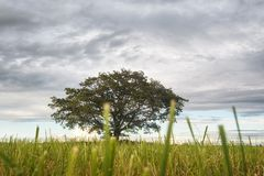 Ensamt harmoniskt träd (fördelande ek) på att slutta fältet fotografering för bildbyråer