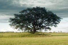 Ensamt harmoniskt träd (fördelande ek) på att slutta fältet arkivfoto